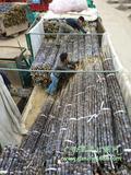 黑皮甘蔗_专业代收黑皮甘蔗_品质优良、价格实惠