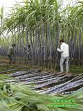 甘蔗的产地在哪_黑皮甘蔗种植产地_万亩优质甘蔗供应批发